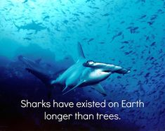 Sharks first appeared on Earth 420 million years ago. Trees, on the other hand, have been around for 370 million years.  Image via: Barry Peters