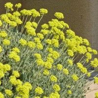 Gentle Giant Sulphur Buckwheat (Eriogonum umbellatum 'Gentle Giant') is an especially large-growing selection of the western native E. umbellatum, blooming with a profusion of bright yellow flat-topped flowers in early summer.
