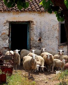 Sheep from the village of Armeni on the island of Crete_ Greece Farm Animals, Cute Animals, Baa Baa Black Sheep, Sheep And Lamb, Sheep Farm, Creta, Counting Sheep, The Good Shepherd, Tier Fotos