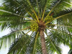 Coconut palm...