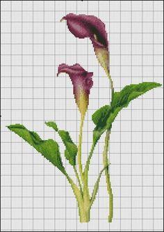 calla lily