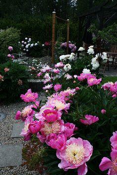 Backyard Pink Peonies Border My favorite flower- here in CA I celebrate when my peony bush gets five blooms!