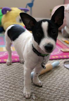 My sweet toy rat terrier, Linus.