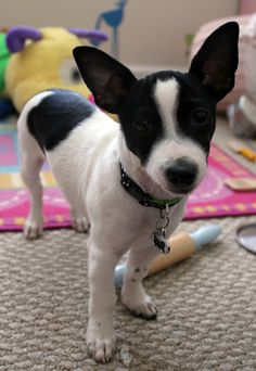 My sweet toy rat terrier, Linus.