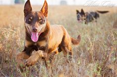 Australian Dog Breeds, Australian Bulldog, Australian Shepherd, Hound Puppies, Dogs And Puppies, Animals Of The World, Dogs Of The World, Farm Life, Dog Life