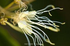 Flore - Capparis Indica - St-Barth - FWI - © Tony Duarte
