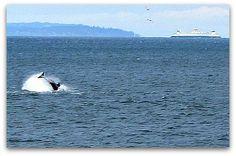 Videos of Orcas close to shore off Vashon Island