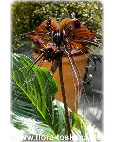 Tacca chantrieri - Fledermauspflanze, Fledermausblume, Teufelsblume, Dämonenblüte What A Wonderful World, Wonders Of The World, Flowers, Plants, Beautiful, Kangaroo Paw, Exotic Plants, Tuscany, Floral