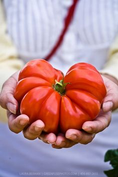 Costoluto Genovese Tomato - an Italian heirloom tomato