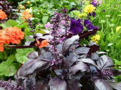 La albahaca morada es una variedad de albahaca con hojas de color púrpura oscuro y flores de color rosa pálido que a menudo se utiliza como planta ornamental además del uso culinario.
