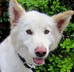 Skipper is an adoptable White German Shepherd Dog in Marblehead, MA. Skipper is a 3 year old white German Shepard/ Husky mix who was surrendered to rescue when his family could no longer care for him....