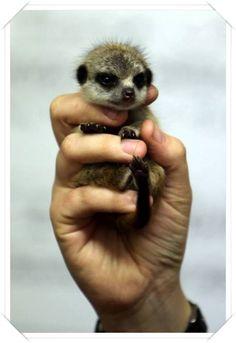 Bebek  Meerkat