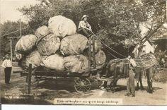 """Nebraska Giant Cabbage"" Dated 1908"