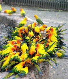 spectacular pic of feeding flock of sun conures!!!