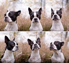 ontario pet photographer dog photography boston terrier - faces of indy2
