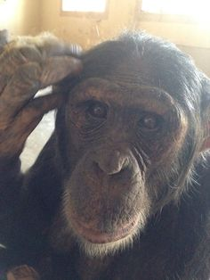 Beautiful Nina from Chimp Eden in South Africa.