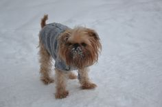 Cute Brussels griffon in the snow