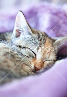 Peaceful Kitten Royalty Free Stock Photo