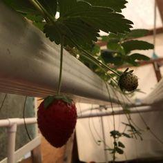 Hydroponic Lettuce, Hydroponics System, Rocky Mountains, Acre, Strawberry, Fruit, Instagram, Food, Essen