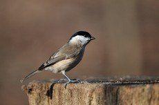 ♫ Carbonero Palustre - Escucha la voz del pájaro