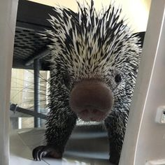 Say hello to Alex, the prehensile-tailed porcupine!