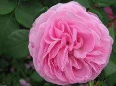 Louis Odier - 10 Intensely Fragrant Roses To Plant In Your Garden - The Mysterious World