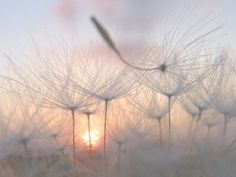 Image shared by MissConfucia. Find images and videos about photography, white and nature on We Heart It - the app to get lost in what you love. Beautiful World, Beautiful Images, Into The Wild, Image Deco, Fotografia Macro, Dandelion Wish, Dandelion Seeds, White Dandelion, Jolie Photo