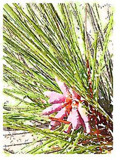 "Long Leaf Pine ""flower"""