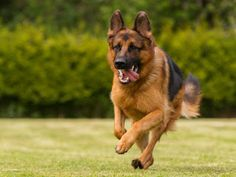German Shepherd Colors: What Is The Color of Your German Shepherd's Coat? - German Shepherd World German Shepherd Colors, German Shepherd Names, Sable German Shepherd, German Shepherd Training, German Shepherd Puppies, German Dogs, German Shepherds, Loyal Dog Breeds, Loyal Dogs