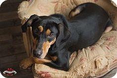 Media, PA - Hound (Unknown Type) Mix. Meet Fletcher *Sponsored Fee!*, a dog for adoption. http://www.adoptapet.com/pet/16864704-media-pennsylvania-hound-unknown-type-mix