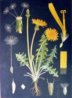 Teaching poster by Ebba Masalin Botanical Drawings, Botanical Illustration, Botanical Prints, Gravure Illustration, Illustration Art, Botanical Interior, Flora Und Fauna, Flowery Wallpaper, Mushroom Art