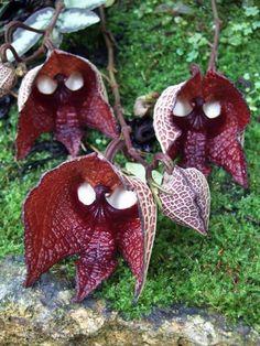 darth vaders Blumenart Tiere aussehen dunkel rot
