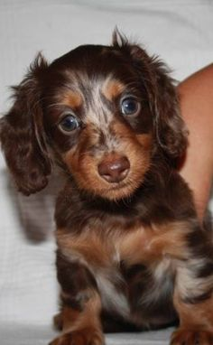 ❤️ Yes I know I am cute. Doxie