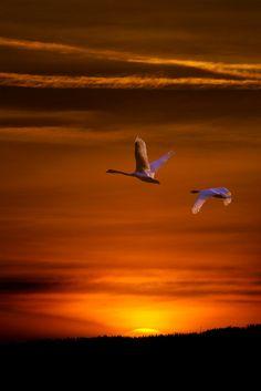 swans | TrekLens | Flying swans Photo