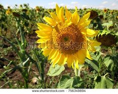 Field Of Sunflowers Seeds Contribute To Strengthening The Heart And Blood Vessels Flowers Photography Vintage