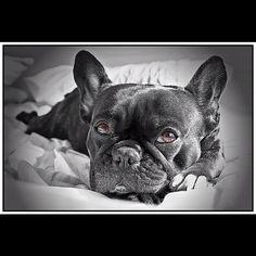 .@Juan Ruiz   Lasha #lasha #dog #frenchi #bulldog #mascotas