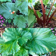 Rhubarb Plant Leaves, Plants, Flora, Plant, Planting