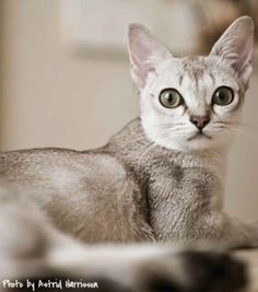 Singville Cattery - Singapura Cats, Singapura Kitten Singapura Cat, Sphinx Cat, Mean Cat, Pusheen Cat, Abyssinian, Cattery, Funny Animals, Funny Pets, Beautiful Cats