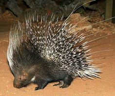 Cape porcupine or South African porcupine : The largest rodent in the southern African region, these monogamous porcupines are over half a metre long and forage at night, mostly on their own. When intimidated they run sideways or backwards to fend attackers off with their sharp quills. warwicktarboton