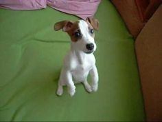 Uggie and Dash - YouTube Jack Russell Puppies, Jack Russell Terrier, Dog Friends, Best Friends, Cute Puppies, Cute Dogs, Puppy Breath, Cutest Dog Ever, Terrier Dogs