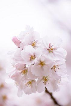#sakura #japan