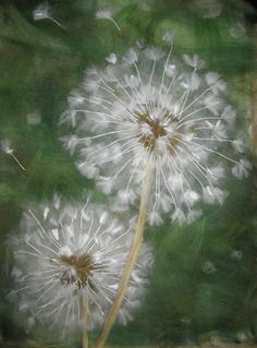 "from album ""шерстяная живопись"" on I am really starting to love dandelions. Dandelion Painting, Felt Pictures, Arte Floral, Felt Art, Belle Photo, Painting Inspiration, Flower Art, Painting & Drawing, Watercolor Art"