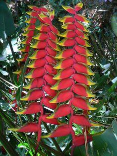 """Stunning Lobster Claw Heliconia...essa floresce de uma """"bananeira"""". Já compartilhei c meu irmão. Trouxe de s. Paulo(capital)."""