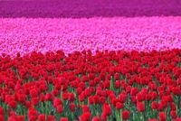 This looks like the Tulip fields outside of Seattle WA - beautiful! Flowers Nature, Beautiful Flowers, Beautiful Places, Le Pollen, Dutch Gardens, Tulip Fields, Different Shades Of Pink, Ground Cover Plants, Everything Pink