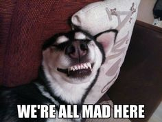 Lol We're All Mad... for our Huskies!