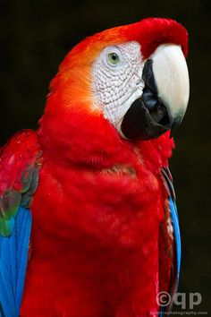Scarlet Macaw portrait. Prints available
