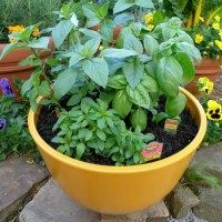 What Is The Secret Of Successful Basil Growing?
