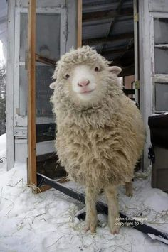 This is a cute sheep. A happy sheep. A fluffy sheep. A smiling sheep Cute Baby Animals, Farm Animals, Animals And Pets, Funny Animals, Happy Animals, Smiling Animals, Animals Images, Nature Animals, Wild Animals