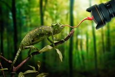 "Just a chameleon action shooting with bait-lens by John Wilhelm on ""And of course I had to play a little bit with levels in Photoshop to get this image ; Bizarre Animals, Funny Animals, Cute Animals, Chameleon Tattoo, Photo Awards, Mundo Animal, Photography Projects, Creative Photos, Snakes"