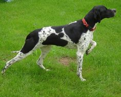 Molly, An English Pointer Puppy in France